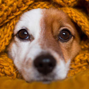 dog wrapped in yellow blanket